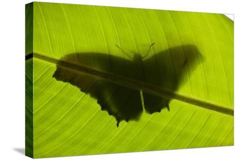 Butterfly, Costa Rica--Stretched Canvas Print