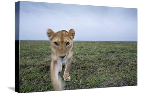 Curious Lion--Stretched Canvas Print