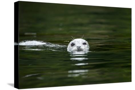 Harbor Seal, British Columbia, Canada--Stretched Canvas Print