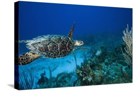 Hawksbill Turtle Swimming Above Reef--Stretched Canvas Print