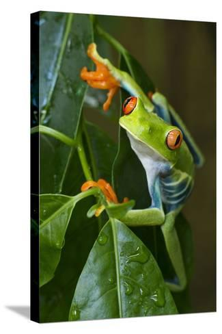 Red Eyed Tree Frog, Costa Rica--Stretched Canvas Print