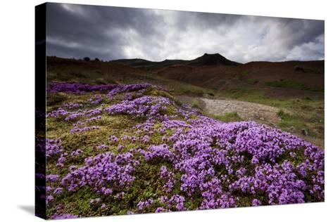 Summer Wildflowers in Iceland--Stretched Canvas Print