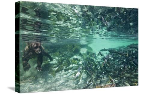 Underwater Brown Bear, Katmai National Park, Alaska--Stretched Canvas Print