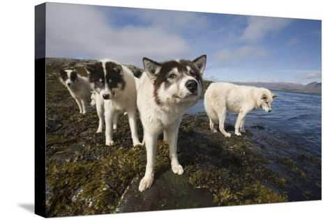 Sled Dogs in Sisimiut--Stretched Canvas Print