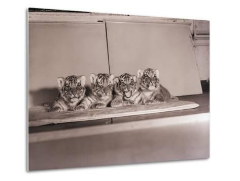 Tiger Cub Quadruplets at Bronx Zoo--Metal Print