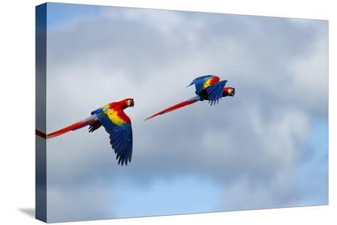 Scarlet Macaw, Costa Rica--Stretched Canvas Print