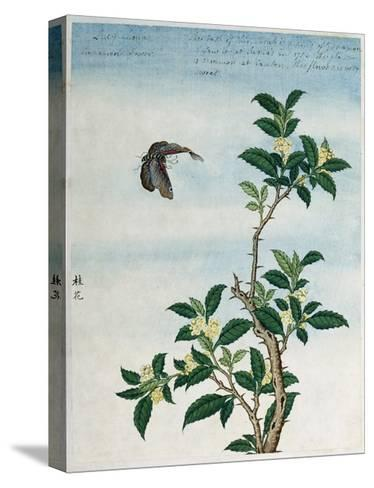 Early 19th-Century Chinese Watercolor of a Cinnamon Plant--Stretched Canvas Print