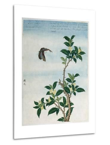 Early 19th-Century Chinese Watercolor of a Cinnamon Plant--Metal Print