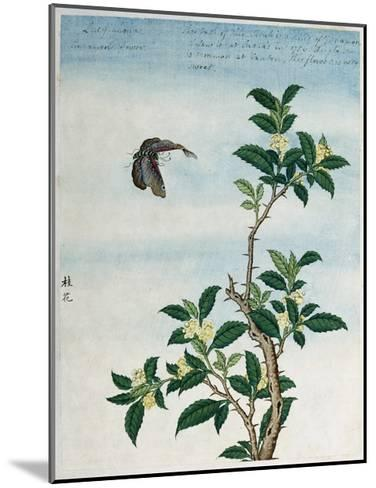Early 19th-Century Chinese Watercolor of a Cinnamon Plant--Mounted Giclee Print