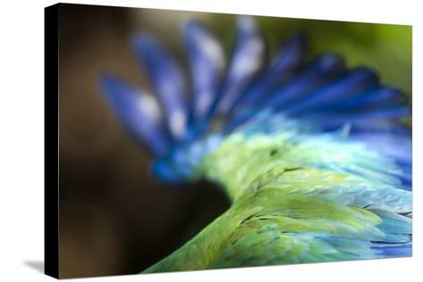 Green Macaw, Costa Rica--Stretched Canvas Print