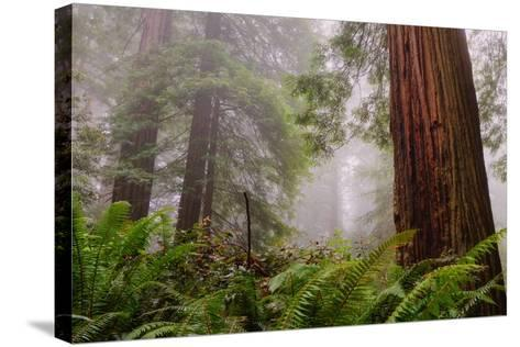 Fog and Redwood Grove, California Coast-Vincent James-Stretched Canvas Print