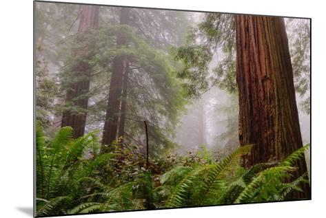 Fog and Redwood Grove, California Coast-Vincent James-Mounted Photographic Print
