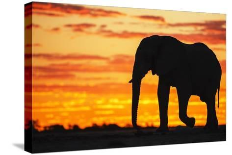 A Silhouette of a Large Male African Elephant Against a Golden Sunset-Jami Tarris-Stretched Canvas Print