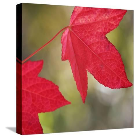 Festive Maple III-Rita Crane-Stretched Canvas Print