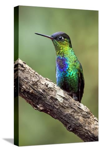 Hummingbird I-Larry Malvin-Stretched Canvas Print