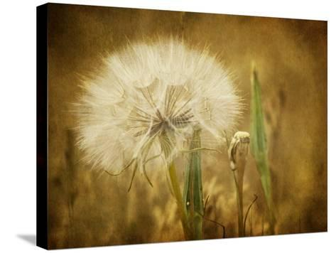 Dandelion Seed-Roberta Murray-Stretched Canvas Print