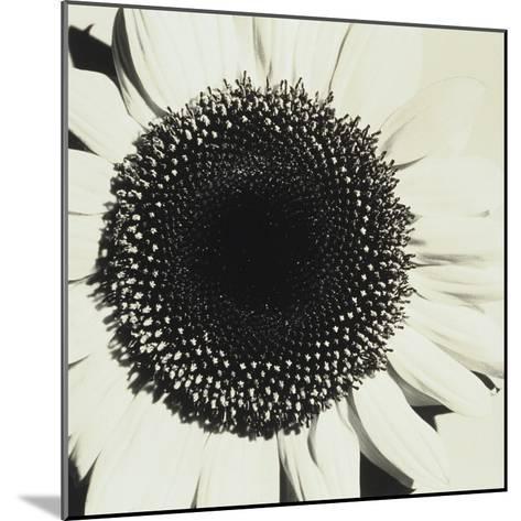 Sunflower-Graeme Harris-Mounted Photographic Print