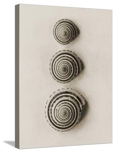 Seashells-Graeme Harris-Stretched Canvas Print