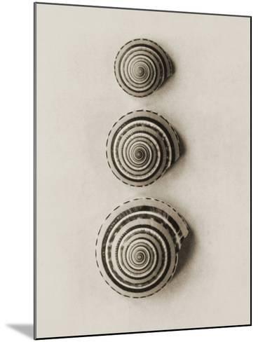 Seashells-Graeme Harris-Mounted Photographic Print