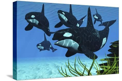 A Pod of Killer Whales Swim Along a Reef Looking for Fish Prey--Stretched Canvas Print
