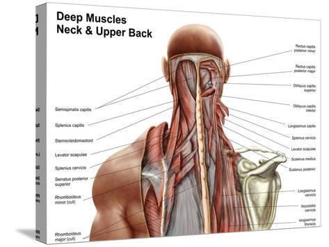 Human Anatomy Showing Deep Muscles in the Neck and Upper Back--Stretched Canvas Print