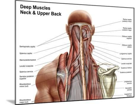 Human Anatomy Showing Deep Muscles in the Neck and Upper Back--Mounted Art Print