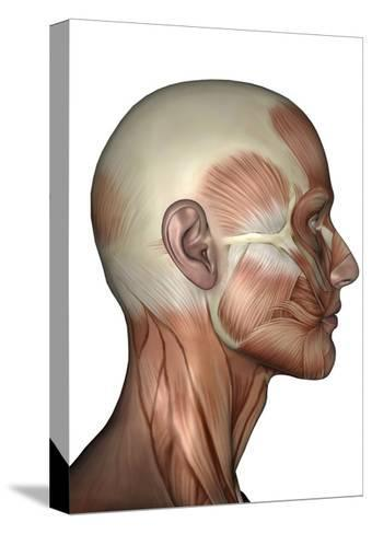 Human Anatomy of Male Facial Muscles, Profile View--Stretched Canvas Print