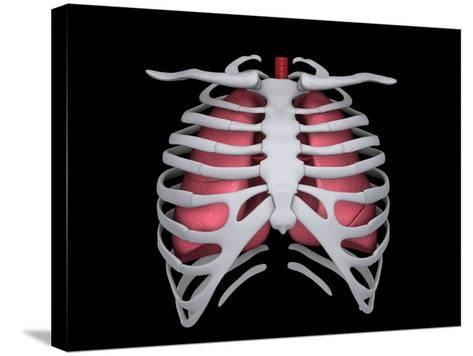 Conceptual Image of Human Lungs and Rib Cage--Stretched Canvas Print