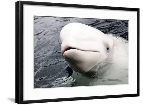 Beluga Whale, Churchill, Manitoba, Canada, North America-Bhaskar Krishnamurthy-Framed Art Print