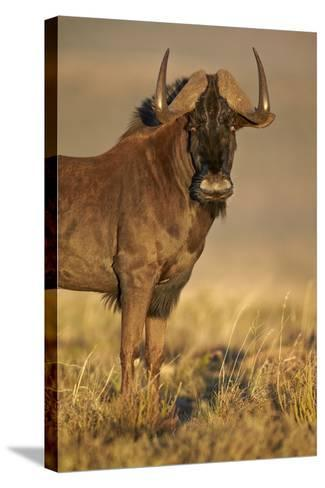 Black Wildebeest (White-Tailed Gnu) (Connochaetes Gnou)-James Hager-Stretched Canvas Print
