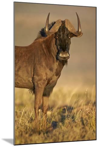 Black Wildebeest (White-Tailed Gnu) (Connochaetes Gnou)-James Hager-Mounted Photographic Print