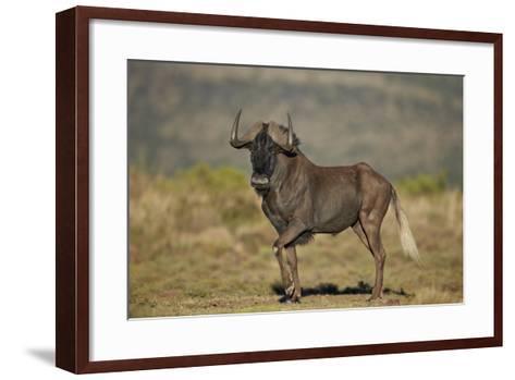 Black Wildebeest (White-Tailed Gnu) (Connochaetes Gnou)-James Hager-Framed Art Print