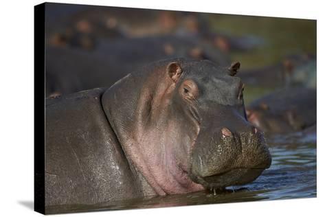 Hippopotamus (Hippopotamus Amphibius), Serengeti National Park, Tanzania, East Africa, Africa-James Hager-Stretched Canvas Print