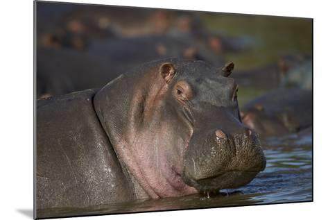 Hippopotamus (Hippopotamus Amphibius), Serengeti National Park, Tanzania, East Africa, Africa-James Hager-Mounted Photographic Print