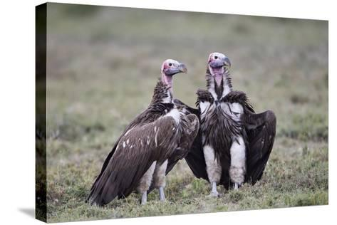 Lappet-Faced Vulture (Torgos Tracheliotus) Pair-James Hager-Stretched Canvas Print