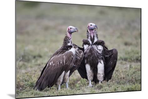 Lappet-Faced Vulture (Torgos Tracheliotus) Pair-James Hager-Mounted Photographic Print