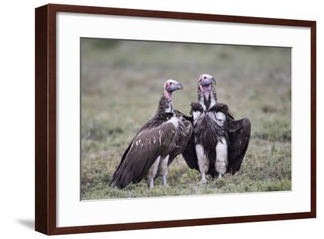 Lappet-Faced Vulture (Torgos Tracheliotus) Pair-James Hager-Framed Art Print