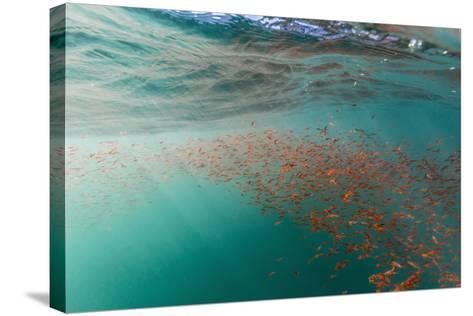 Dense Swarms of Juvenile Squat Lobster (Munida Gregaria) Off Akaroa-Michael Nolan-Stretched Canvas Print