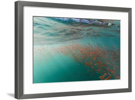Dense Swarms of Juvenile Squat Lobster (Munida Gregaria) Off Akaroa-Michael Nolan-Framed Art Print