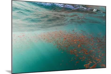Dense Swarms of Juvenile Squat Lobster (Munida Gregaria) Off Akaroa-Michael Nolan-Mounted Photographic Print