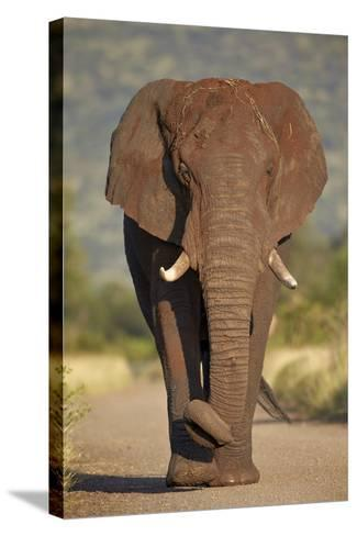 African Elephant (Loxodonta Africana), Kruger National Park, South Africa, Africa-James Hager-Stretched Canvas Print