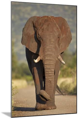 African Elephant (Loxodonta Africana), Kruger National Park, South Africa, Africa-James Hager-Mounted Photographic Print