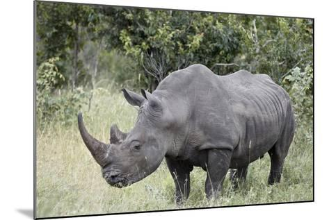 White Rhinoceros (Ceratotherium Simum), Kruger National Park, South Africa, Africa-James Hager-Mounted Photographic Print