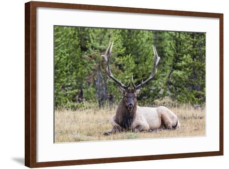 Bull Elk (Cervus Canadensis)-Michael Nolan-Framed Art Print