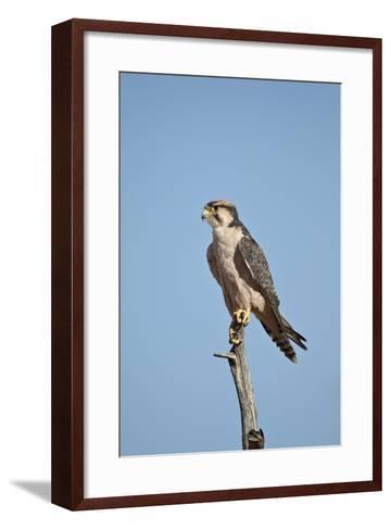 Lanner Falcon (Falco Biarmicus)-James Hager-Framed Art Print