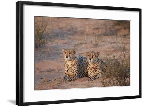 Two Cheetah (Acinonyx Jubatus)-James Hager-Framed Art Print