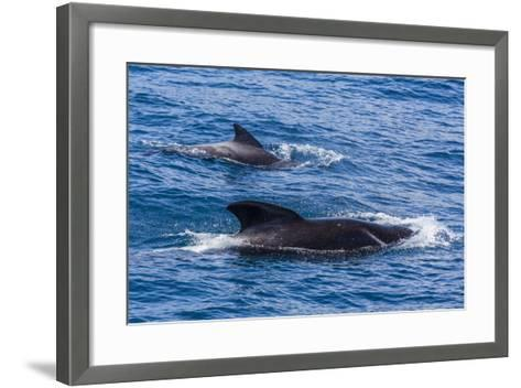 Adult Female and Male Long-Finned Pilot Whales (Globicephala Melas)-Michael Nolan-Framed Art Print