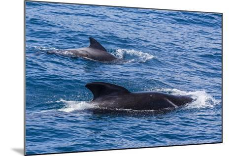 Adult Female and Male Long-Finned Pilot Whales (Globicephala Melas)-Michael Nolan-Mounted Photographic Print