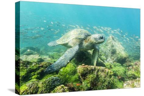 Adult Green Sea Turtle (Chelonia Mydas) Underwater Near Rabida Island-Michael Nolan-Stretched Canvas Print