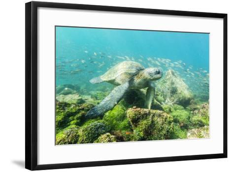 Adult Green Sea Turtle (Chelonia Mydas) Underwater Near Rabida Island-Michael Nolan-Framed Art Print